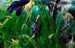 Скалярии — рыбы ангелы, кого же подселить в их рай