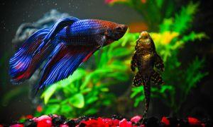 Совместимость аквариумных петушков с другими рыбками