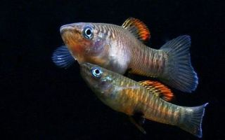 Виды живородящих аквариумных рыб