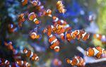 Рыбка клоун — озорной житель морского аквариума