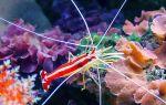 Основные правила содержания морских креветок в аквариуме