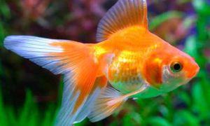 Сколько золотых рыбок можно поселить в аквариум на 30 литров?