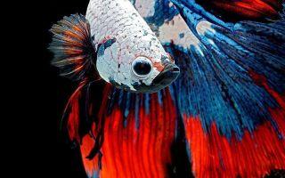 Разные и прекрасные рыбки петушки