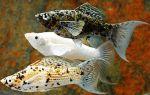 Декоративные виды аквариумных моллинезий