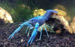 Кубинец в аквариуме — содержание голубых раков