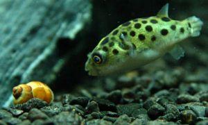 К каким рыбам нельзя подселять улиток?