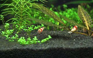 Обустройство креветочника для начинающих аквариумистов