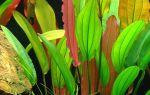 Красочное многообразие эхинодоруса – короля подводного сада