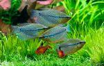 Лучшие соседи для гурами в вашем аквариуме