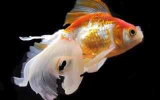 Можно ли содержать креветок и золотую рыбку в одном аквариуме?
