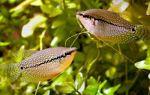 Принципы ухода и особенности содержания аквариумных гурами