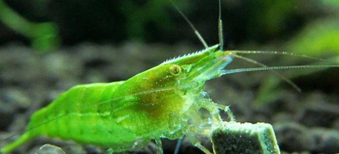 Зеленая креветка бабаулти простые правила жизни в аквариуме