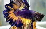 Виды аквариумных рыбок петушков