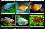Заселение аквариумного царства разными видами гурами