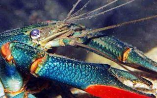 Австралийский рак в вашем аквариуме