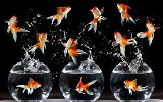 Почему рыбки выпрыгивают из аквариумов?
