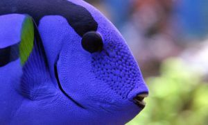 Рыба хирург — яркая внешность или скрытая угроза