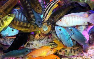 Совместимость задиристых цихлид с другими обитателями аквариума