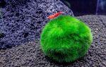 Шаровидная кладофора — зеленая водоросль о которой мечтают аквариумисты