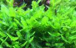 Пеллия или Monosolenium tenerum