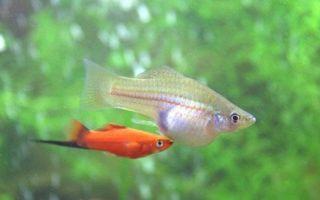 Какие рыбы могут размножаться в любительском аквариуме?