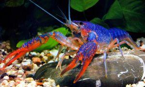 Особенности содержания и разведения декоративных аквариумных раков