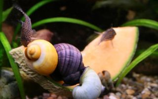 Чем и как накормить аквариумных улиток