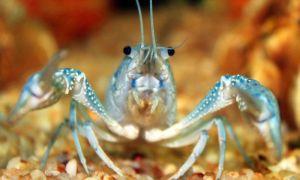 Чем и как правильно кормить аквариумного рака