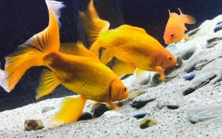 Можно ли кормить золотых рыбок один раз в сутки? В аквариуме только они