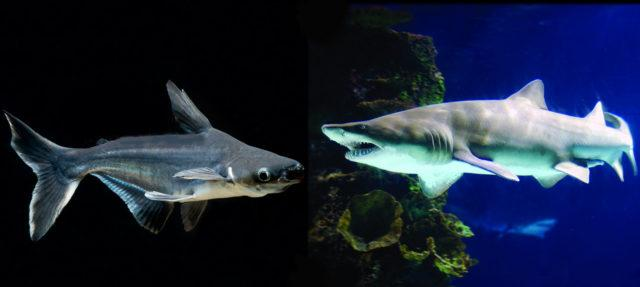 Пангасиус и акула