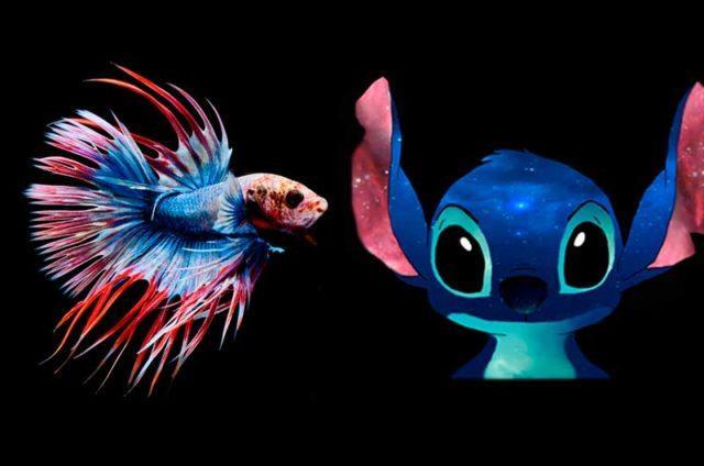 Стич - имя для рыбки бета петушок