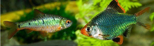 Зеленый барбус и барбус мутант