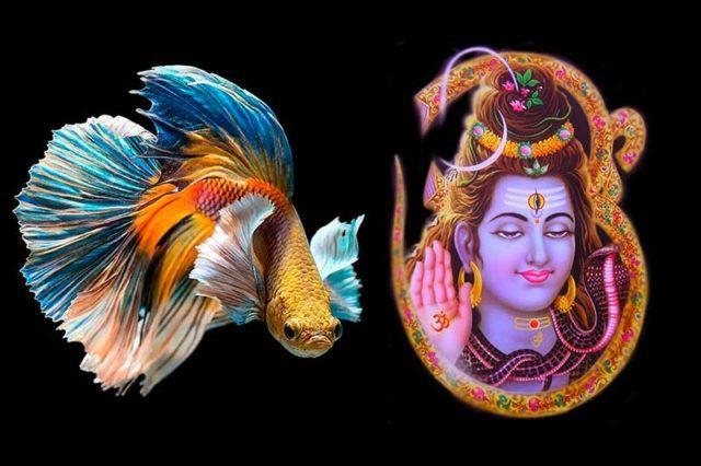 Шива - имя для аквариумной рыбки петушок