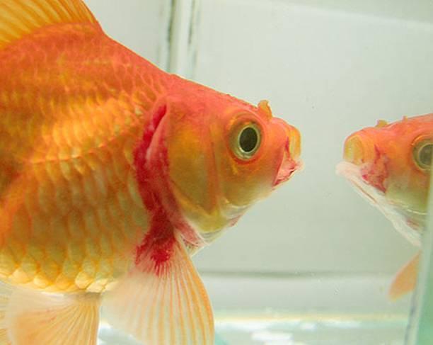 Фурункулез золотая рыбка