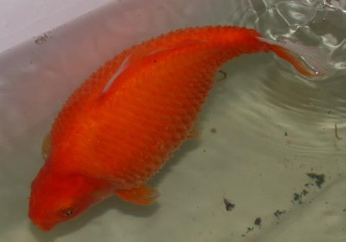 Водянка у золотой рыбки