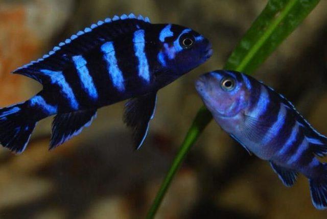Самец крупнее и значительно ярче самки.