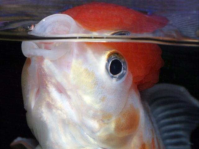 Золотая рыбка красная шапочка