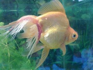 Плавниковая гниль у золотой рыбки
