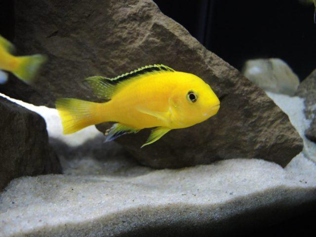 Желтый мбуна