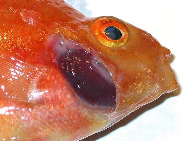 Вскрытие золотой рыбки