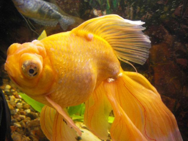 Оспа у золотой рыбки