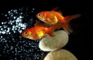 Пара золотых рыбок
