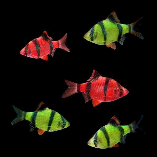 Флуоресцентные барбусы