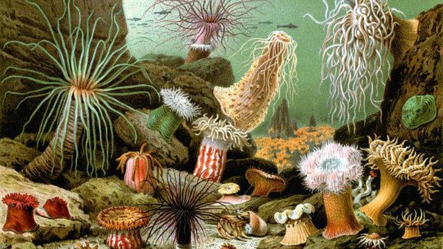 Виды актиний