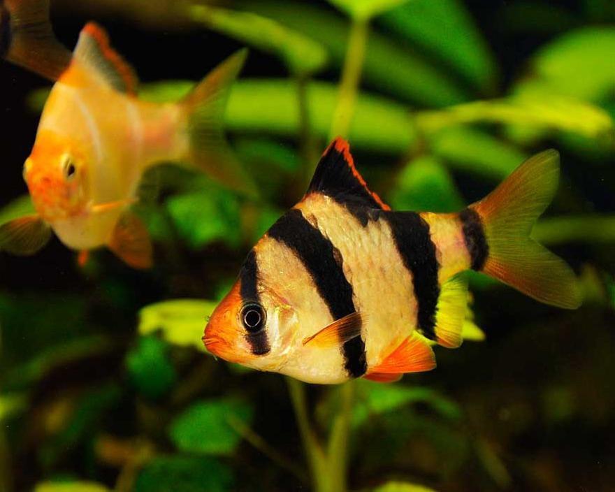 Рыбки барбусы: содержание и уход, совместимость, размножение, кормление, продолжительность жизни в домашнем аквариуме