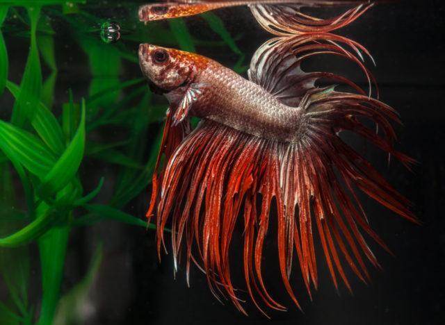 Как дышит рыбка петушок