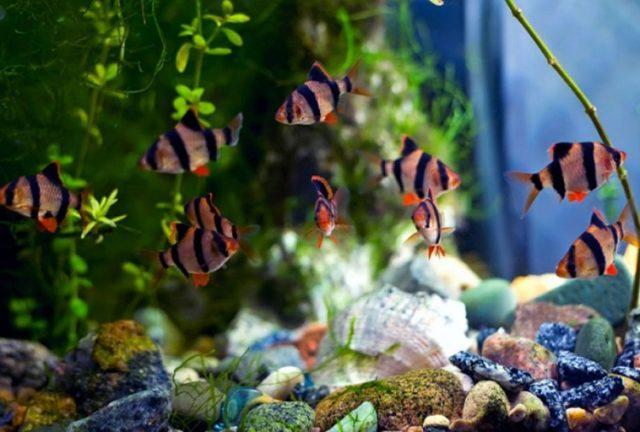 Видовой аквариум с суматранскими барбусами