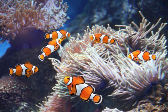 Стая рыб клоунов