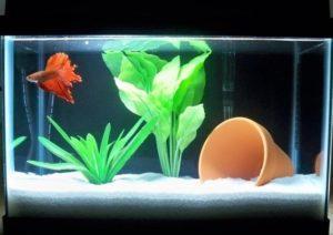 Петушок в мини аквариуме
