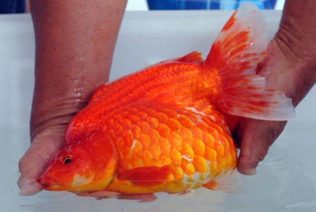 Ожирение у золотой рыбки